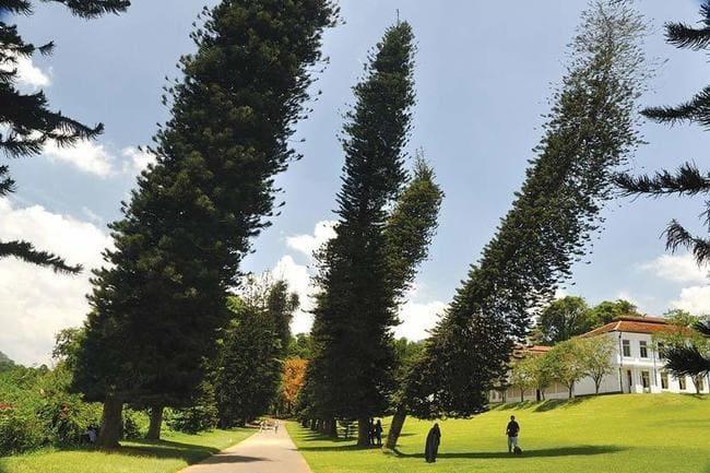 آشنایی با درخت شگفت انگیز کاجکوک