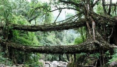 عجیبترین پلهای ریشههای طبیعی دنیا در هند