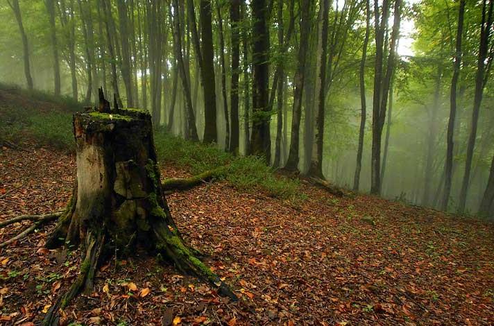 جنگل راش سوادکوه